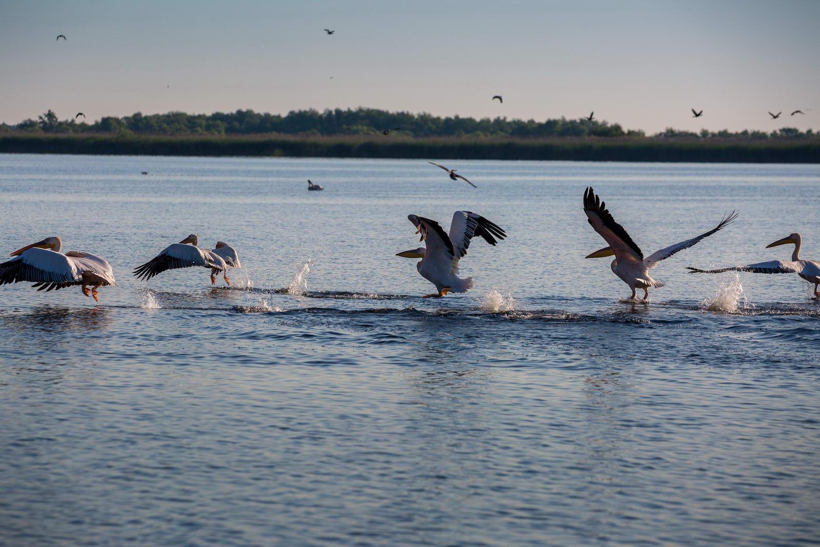 Pelicani in Delta la Crisan