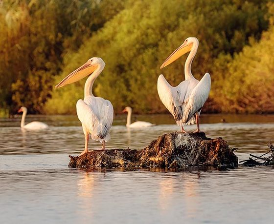 Pelicani in Delta Dunarii la Gura Portitei